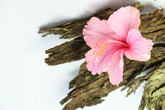 Chinese Rose or Rosa mallow isolated with bark Royalty Free Stock Photos