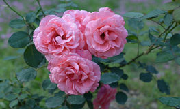 Chinese rose  Rosaceae flowers. Evergreen green leaf woods  nature flowers red rose Flowers to extract spices Happy, glorious, gorgeous long new ,the subject of Stock Images