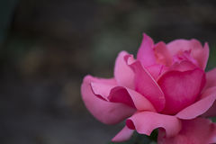 Chinese rose. ,Pink rose with leaves stock images