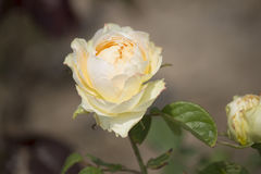 Chinese rose. ,rose with leaves stock images