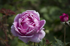 Chinese rose. ,rose with leaves royalty free stock image