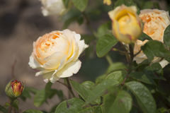 Chinese rose. ,rose with leaves royalty free stock photo