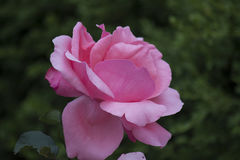Chinese rose. ,rose with leaves stock photo