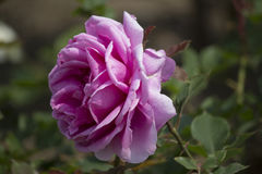 Chinese rose. ,rose with leaves royalty free stock photography