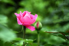 Chinese rose stock photography