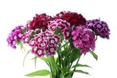 Chinese roze carnatoins. De bloemen van de zomer stock fotografie