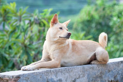 Chinese Rural Dog 03 Royalty Free Stock Photo
