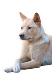 Chinese Rural Dog portrait Royalty Free Stock Image