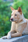 Chinese Rural Dog with serious expression Stock Photography