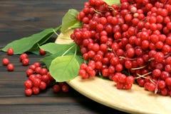 Chinese schizandra - red ripe berries Royalty Free Stock Images