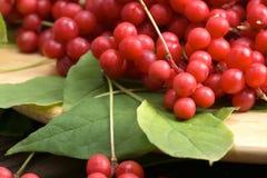 Chinese schizandra - red ripe berries Royalty Free Stock Photos