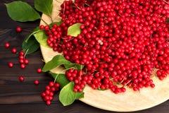 Chinese schizandra - red ripe berries Stock Photos