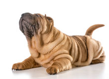 Chinese shar pei Stock Afbeelding