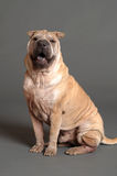 Chinese Shar Pei dog Stock Photo