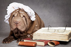 Chinese Shar-Pei dog Stock Images