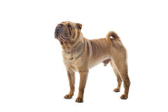 Chinese Shar Pei dog Royalty Free Stock Image