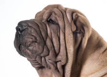 Chinese shar pei Royalty Free Stock Images