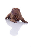Chinese shar pei lying on flor isolated on white background Royalty Free Stock Photography