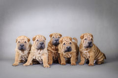 Chinese Shar pei puppies portrait Stock Image