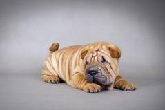 Chinese Shar pei puppies portrait Stock Photo