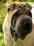 Chinese Shar-Pei puppy Royalty Free Stock Photos