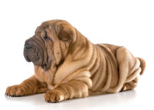 Chinese shar pei puppy Royalty Free Stock Image