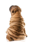 Chinese shar pei puppy Royalty Free Stock Images