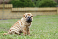 Chinese Shar pei puppy portrait Royalty Free Stock Image