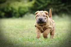 Chinese Shar pei puppy portrait. At garden Stock Image