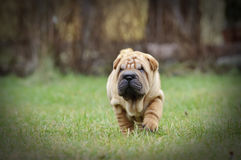 Chinese Shar pei puppy portrait Royalty Free Stock Images