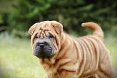 Chinese Shar pei puppy portrait Royalty Free Stock Photography