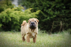 Chinese Shar pei puppy portrait Stock Photo