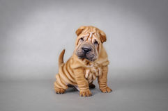 Chinese Shar pei puppy portrait. On grey background Stock Photo