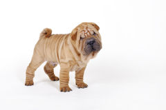 Chinese Shar pei puppy portrait Royalty Free Stock Photos