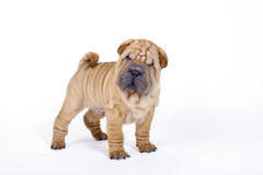 Chinese Shar pei puppy portrait Stock Photography