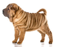 Chinese shar pei Royalty Free Stock Image