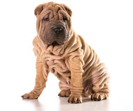 Chinese shar pei Royalty Free Stock Photos