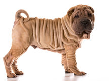 Chinese shar pei Royalty Free Stock Photography