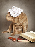Chinese sharpei dog reads the book Royalty Free Stock Image