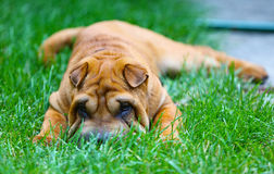 Chinese Sharpei puppy playing in the gsass. Very cute Chinese Sparpei puppy playing in the grass stock image