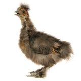 Chinese Silkie-Baby-Huhn mit dem offenen Schnabel lokalisiert auf weißem Hintergrund Lizenzfreies Stockbild