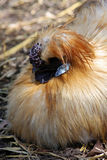 Chinese Silkie Bantam Royalty Free Stock Photos