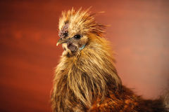 Chinese Silkie Rooster Close-Up. A close-up of a cute Chinese silkie rooster Stock Photos