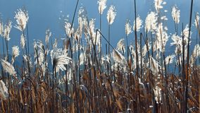 Chinese silver grass. At a winter-day in the backlight Stock Photo
