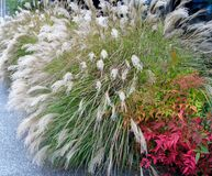 Chinese Silver Grass and Heavenly Bamboo shrub. Chinese Silver Grass / Miscanthus Sinensis Early Hybrids and Heavenly Bamboo / Nandina shrub Stock Photography