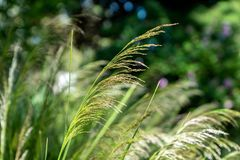 Chinese Silver Grass, Miscanthus sinensis, closeup. With blurry background royalty free stock photos