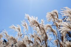 Chinese silver grass in winter sun stock images