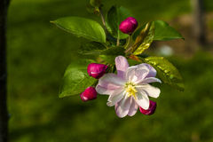 Chinese small apple flower Royalty Free Stock Photo