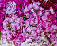 Chinese small carnation flowers Stock Image