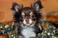 Chinese small dog chihuahua Royalty Free Stock Photography